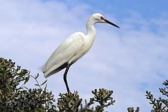 Dimorphic egret - White  morph on Nosy Ve, Madagascar