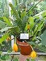 Disocactus macranthus - Botanischer Garten München-Nymphenburg - DSC07919.JPG