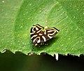 Diurnal micro moth, Choreutidae, Hemerophila albertiana, the famous 2115 moth (29097117438).jpg