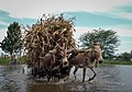 Donkeys pulling a cart in Tanzania.jpg