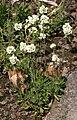 Draba magellanica.jpg