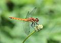 Dragonfly - Sympetrum frequens - 秋茜(アキアカネ) (4892657024).jpg