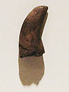 The holotype tooth of Dromaeosauroides.