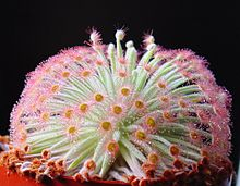 Drosera Pinguicula Weser Rose 10  seeds Fresh  carnivorous  carnivores plant