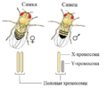 Drosophila XY sex-determination ru.png