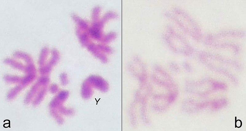 File:Drosophila metaphase chromosomes.jpg