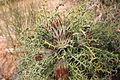 Dryandra sp 1 North Karlgarin NR.jpg