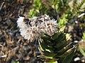 Dubautia menziesii (4743239657).jpg