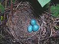 Dumetella carolinensis -three eggs in nest-8.jpg