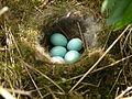 Dunnock (Hedge Sparrow) Nest 11-05-10 (4602216676).jpg