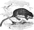 EB1911 Insectivora — Fig. 6.—The Tibetan Water-shrew (Nectogale elegans).jpg