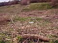 Early spring growth - geograph.org.uk - 784164.jpg