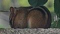 Eastern Chipmunk (Tamias striatus) - Guelph, Ontario 03.jpg