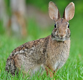 Eastern cottontail species of mammal