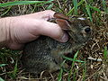 Eastern Cottontail 20090602-1 jhansonxi.jpg