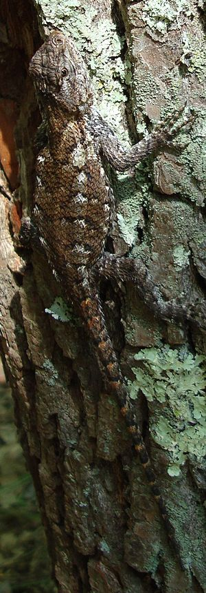 Eastern fence lizard - Camouflaged by tree