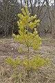 Eastern White Pine (Pinus strobus) - Guelph, Ontario 2020-04-12.jpg
