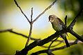 Eastern Wood-Pewee (Contopus virens) (20952335342).jpg