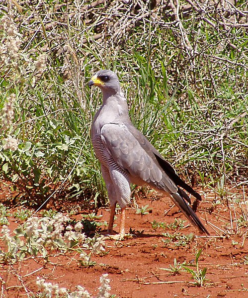http://upload.wikimedia.org/wikipedia/commons/thumb/d/df/Eastern_chanting_goshawk.jpg/499px-Eastern_chanting_goshawk.jpg