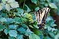 Eastern tiger swallowtail (29792637858).jpg
