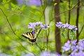 Eastern tiger swallowtail (33559386211).jpg