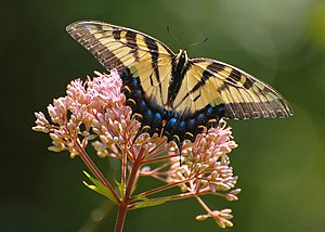 Eastern Tiger Swallowtail Butterfly. Female ye...