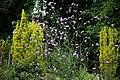 Easton Lodge Gardens, Little Easton, Essex, England ~ Verbena bonariensis purpletop vervain 2.jpg