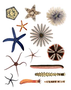 Des exemples d'échinoderme. / Ph. DR