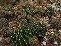 Echinopsis echinobivia 'White Knight' c-1009 - 02.jpg