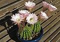 Echinopsis oxygona 2012 - sept fleurs - 2.jpg