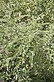 Echium plantagineum-2738.jpg