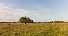 Eenzame vliegden (Pinus) in avondlicht. Locatie, natuurgebied Delleboersterheide – Catspoele 01.jpg