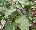 Eggplant (Flower).jpg