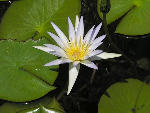 Egyptian Museum - Lotus flower in front pond
