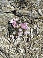 El Cardoso, flora 01.jpg