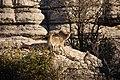 El Torcal de Antequera - 011 - Wild goats.jpg