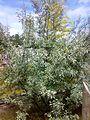 Elaeagnus angustifolia 080720086075.jpg
