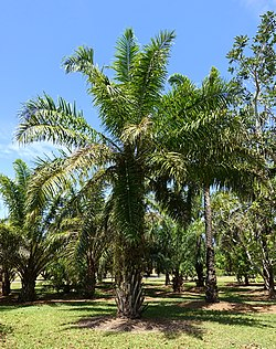 Elaeis guineensis - Fruit and Spice Park - Homestead, Florida - DSC09011.jpg