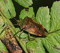 Elasmostethus interstinctus (Birch shieldbug) - Flickr - S. Rae (2).jpg
