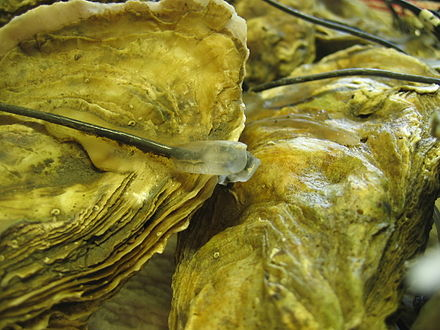 Pacific oyster Crassostrea gigas equipped with activity electrodes to follow their daily behaviour Electric oyster MolluSCAN eye project.jpg