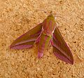 Elephant Hawkmoth. Deilephila elpenor - Flickr - gailhampshire (1).jpg