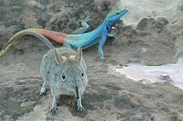 Elephant shrew and colorful lizard.jpg
