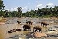 Elephants bathing in Oya River - panoramio (1).jpg
