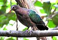 Emerald Dove Chalcophaps indica by Female Dr. Raju Kasambe DSCN1106 (6).jpg