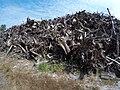 Empilement de souches de pins après désouchage d'une coupe rase 2018 Landes de Gascogne 02.jpg