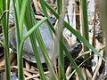 Emys orbicularis, Kyiv 14.JPG