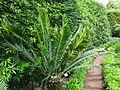 Encephalartos manikensis furnas 2015 (02).jpg