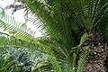 Encephalartos whitelockii 3zz.jpg