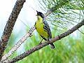 Endangered Kirtland Warbler (7045894449).jpg