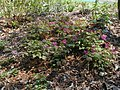 Epimedium flowers cv4 -001.JPG
